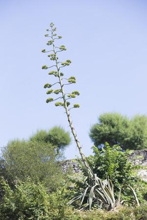 hojas: Yellow Agave. Invasive plant of American origin.