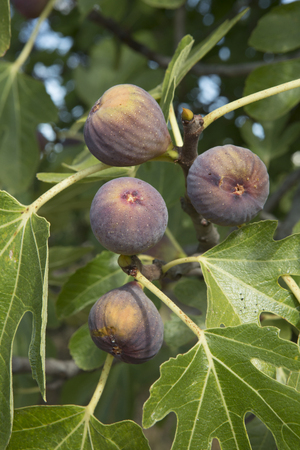 fig tree: figs on the fig tree Stock Photo