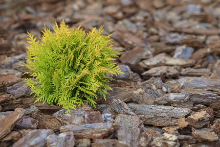 Beautiful little thuja planted on the ground in a park. Beautiful light, close-up. 版權商用圖片