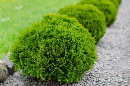 A small green coniferous bush. Green round thuja.