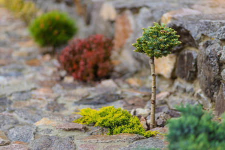decorative tree thuja evergreen bush in the garden with stone path, landscape design of the backyard with plants.