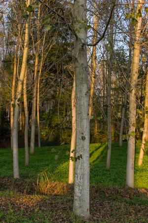 poplars: Poplar forest in autumn in italy