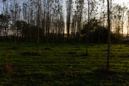 poplar: Poplar forest in autumn in italy