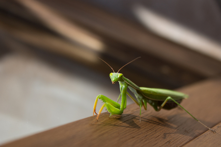 predatory insect: A mantis near a window