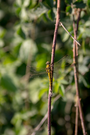 harvestman: Picture of a yellow dragonfly leaning against a branch Stock Photo
