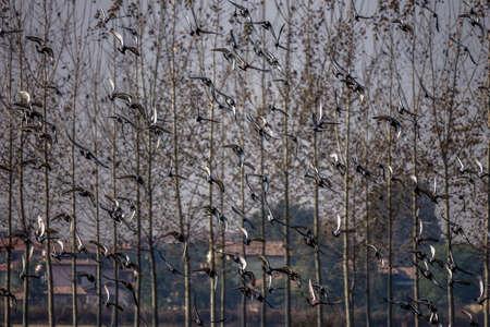 Flock of pigeons taking flight