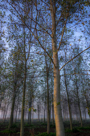 Photo of a poplar forest in italy