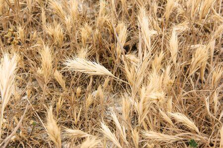 Ripe rye leaned down on the arid soil