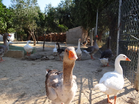 poultry yard: Goose in the poultry yard