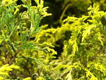 arborvitae: green arborvitae