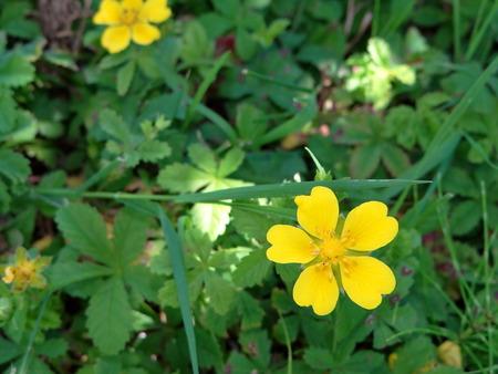 buttercup: yellow flower Buttercup