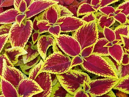 plant is the Coleus
