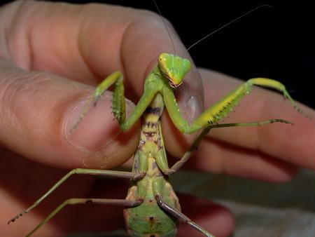 mantis: green praying mantis Stock Photo