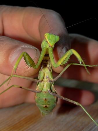 keep an eye on: green praying mantis Stock Photo