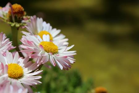 Flower Astra Reklamní fotografie