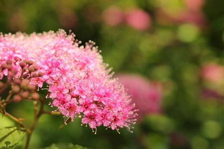 Flower spirea