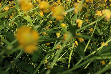 buttercup Stok Fotoğraf