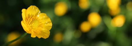 buttercup Standard-Bild