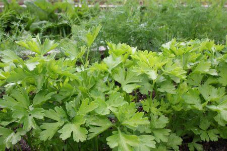 dill and parsley Фото со стока