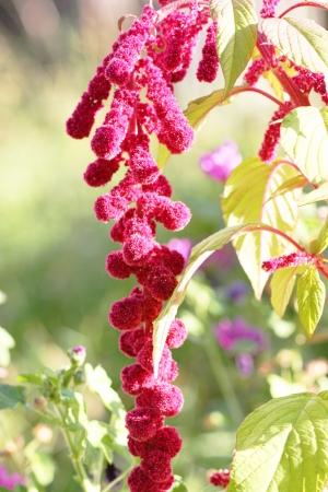 flores fucsia: colgando fucsia Flores