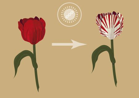 The influence of viruses in our life. How the virus created the one of the most important economic crisis - tulip fever. Red tulip obtains a white stripes because of the virus