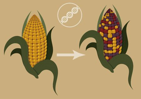 Epigenetics in action. Illustration of how colored corn confirm existence of transposons. There are two corn cob in illustration one is normal yellow one and another has colored kernels