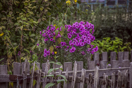 purple flowers behind old wooden fence Stock Photo