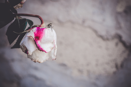 A bud of dead withered white rose with pink spot