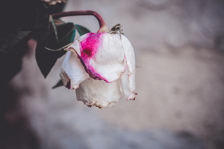Eine Knospe einer toten verwelkten weißen Rose mit rosa Fleck