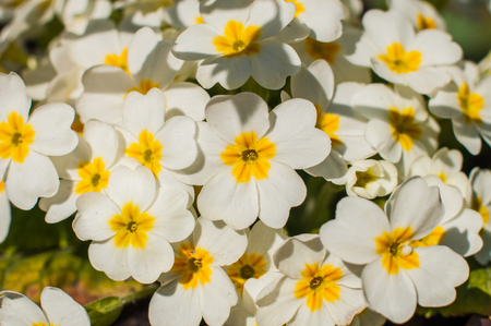 Young white primrose flowers (Primula) growing in the garden.