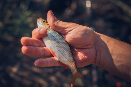 Mens hands holding a rudd fish - Scardinius erythrophthalmus -caught during fishing on the pond.