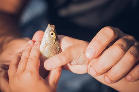 Mens and childs hands holding a rudd fish - Scardinius erythrophthalmus -caught during fishing on the pond. Father is teaching his son fishing.