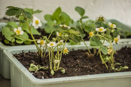 Homemade garden beds of blooming strawberries placed on a balcony of a city apartment.