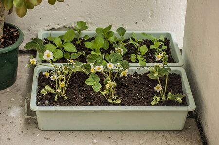 Homemade garden beds of blooming strawberries placed on a balcony of a city apartment. Imagens