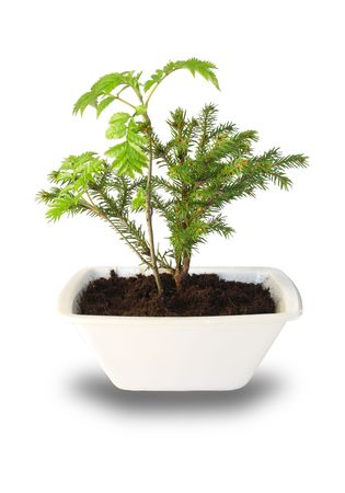 Small tree isolated on white background Stock Photo - 6903504