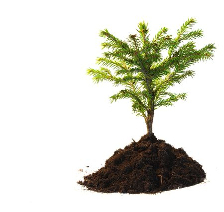Small tree isolated on white background Stock Photo - 6903509