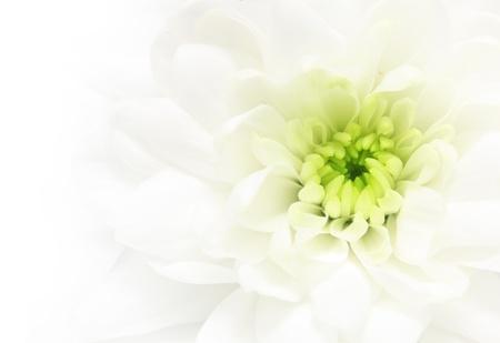 Close-up white daisy flower background. photo