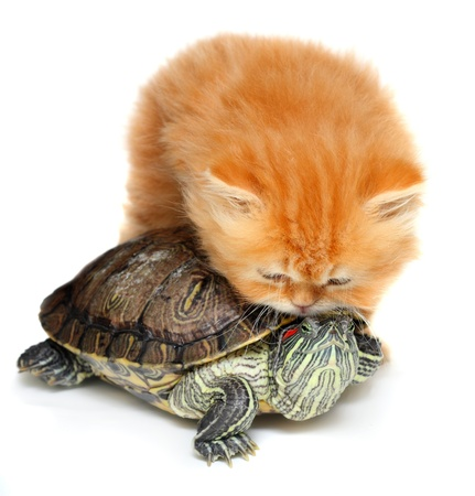 Red kitten with sea turtle on a white background