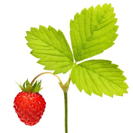 Wilde Erdbeeren Makro isoliert auf wei�