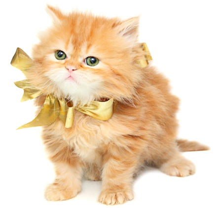 whiskar: Red kitten with gold bow on a white background