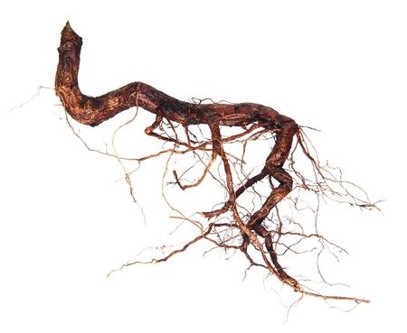 arbol raices: Las raíces del árbol aislado en un fondo blanco
