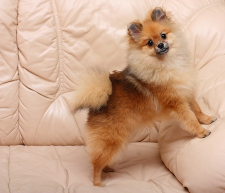 Spitz dog standing on a leather sofa  photo