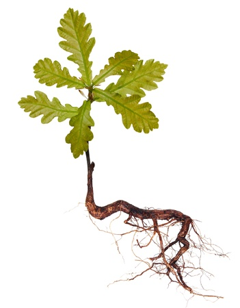 Oak tree with roots isolated on a white background Stock Photo - 17306265