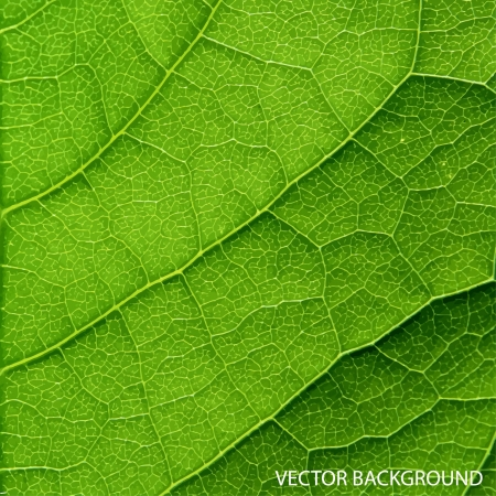 leaf line: green leaf macro background  Illustration