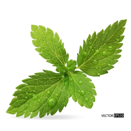 Green mint leaves on a white background illustration