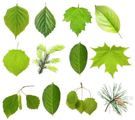 Collection green tree leaves, high resolution, isolated on white background photo