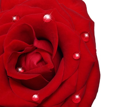 Single rose flower isolated on white background Stock Photo - 17905299