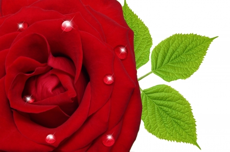 Single red rose flower with leaves isolated on white background photo