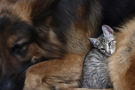 beautiful cat: Large dog and a cat.