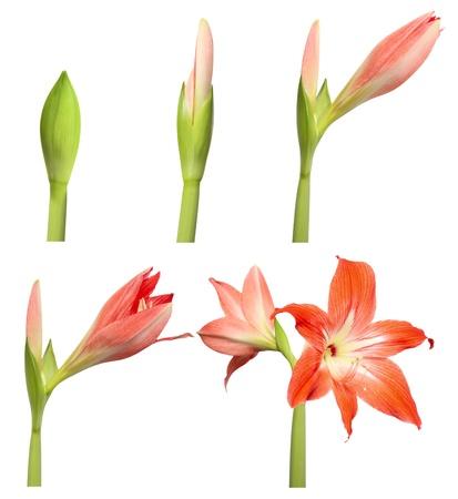 etapas de vida: D�as de duraci�n de la Flor. Etapas de crecimiento - Amaryllis aisladas sobre fondo blanco.